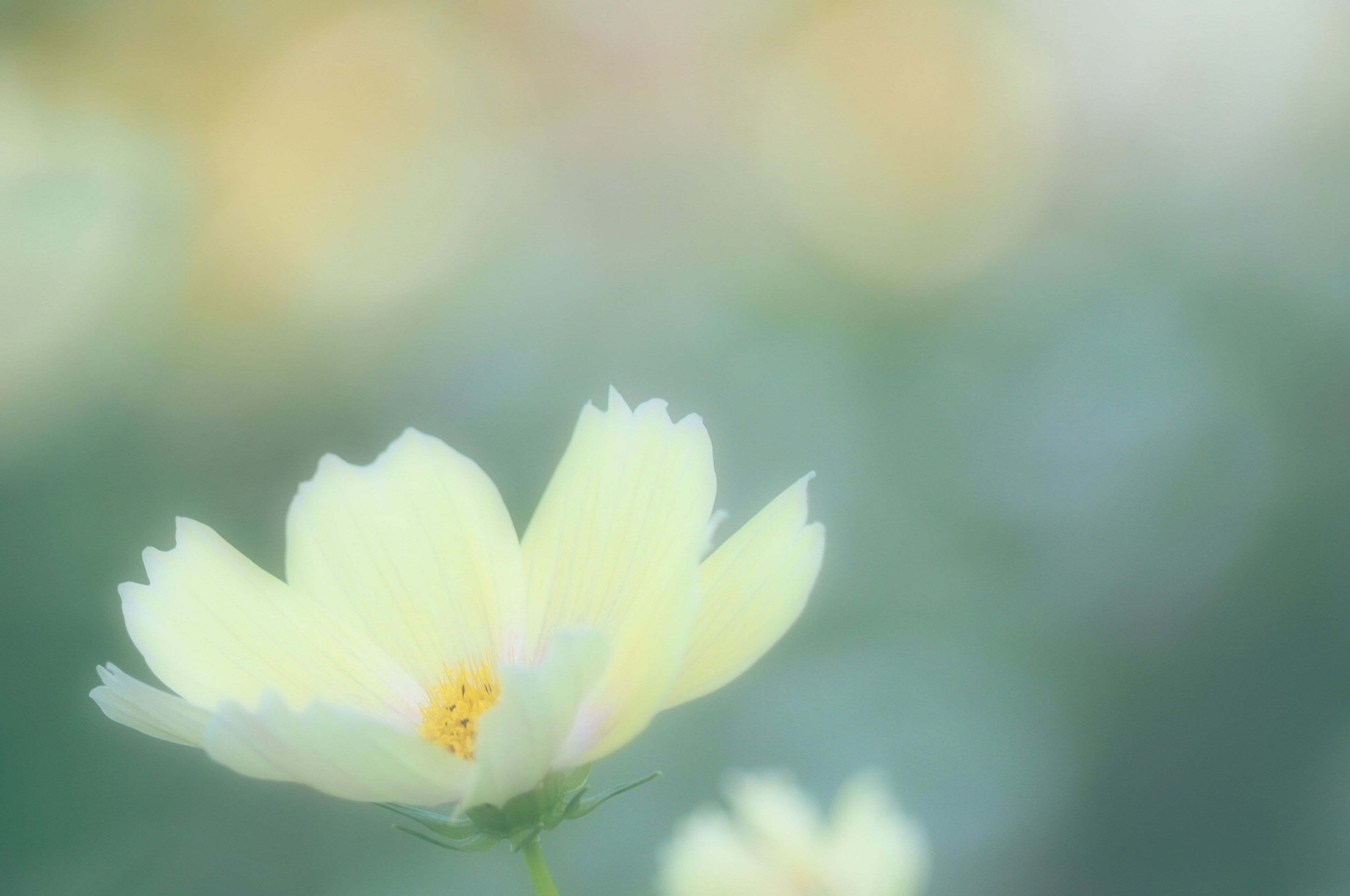 flower, petal, fragility, freshness, flower head, growth, focus on foreground, beauty in nature, blooming, close-up, nature, plant, white color, in bloom, selective focus, yellow, single flower, stem, pollen, outdoors