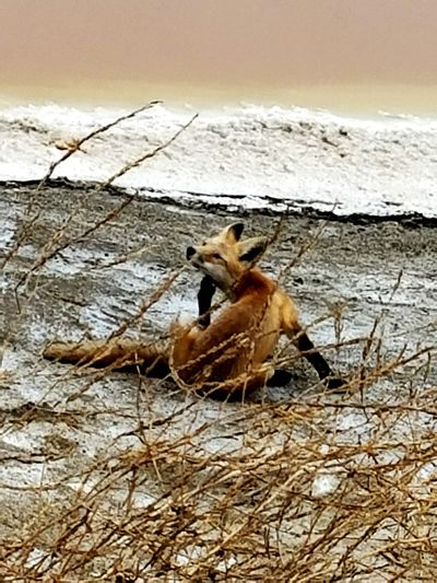 Hanging Out Outdoors Nature Animals Fox Nature Photography Nature_collection Sojourner EyeEm Best Shots
