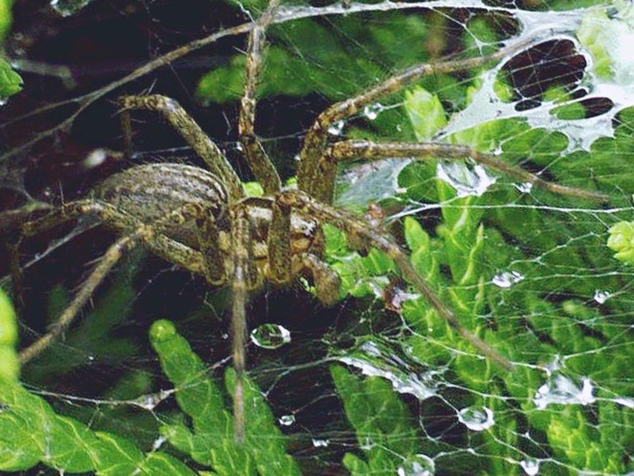 Spider Series Arachnophobia Arachnipocalypse Arachni-therapy Macro Photography Wildlife & Nature Macro Nature Funnel web Spider Arachnid