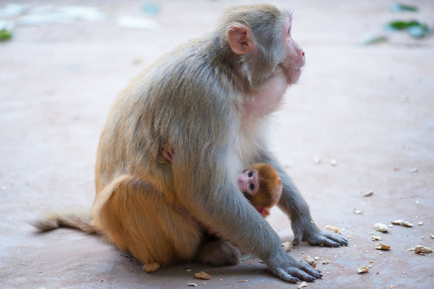 Female rhesus macaque and her baby with peanuts on the ground, Lushan mountain, Xichang, China Rhesus Macaque Animal Themes Animal Wildlife Animals In The Wild Close-up Day Focus On Foreground Mammal Monkey Nature Outdoors Sitting