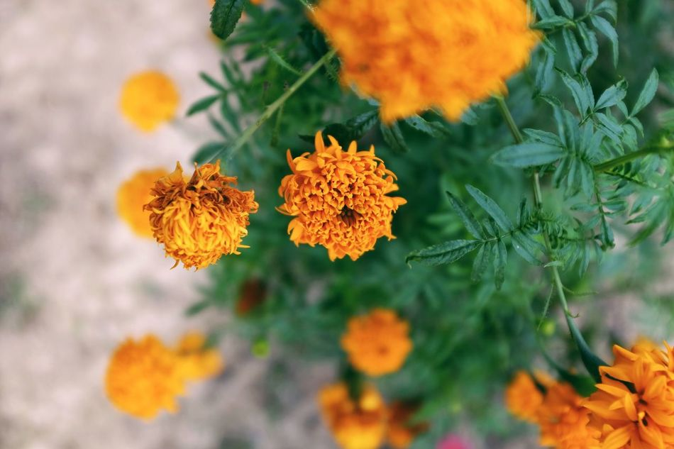 The chrysanthemum at the garden with orange color. Flower Orange Color Beauty In Nature Growth Nature Plant Flower Head Leaf Day Blooming Close-up Beautiful Beautiful Nature Chrysanthemums Garden Tourism Thailand Malaysia Asian  Europe Business Krabi