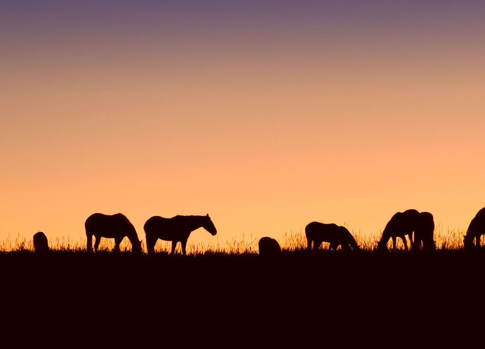 Horses silhouette Sunset Silhouette Landscape Herd Scenics Beauty In Nature Animal Themes Mammal No People Sky Outdoors Ranch Life Night Horses Horse Silhouette Silhouettes Sunset Silhouettes Orange Sky Orange Silhouette Animal Animals Western Western Skies