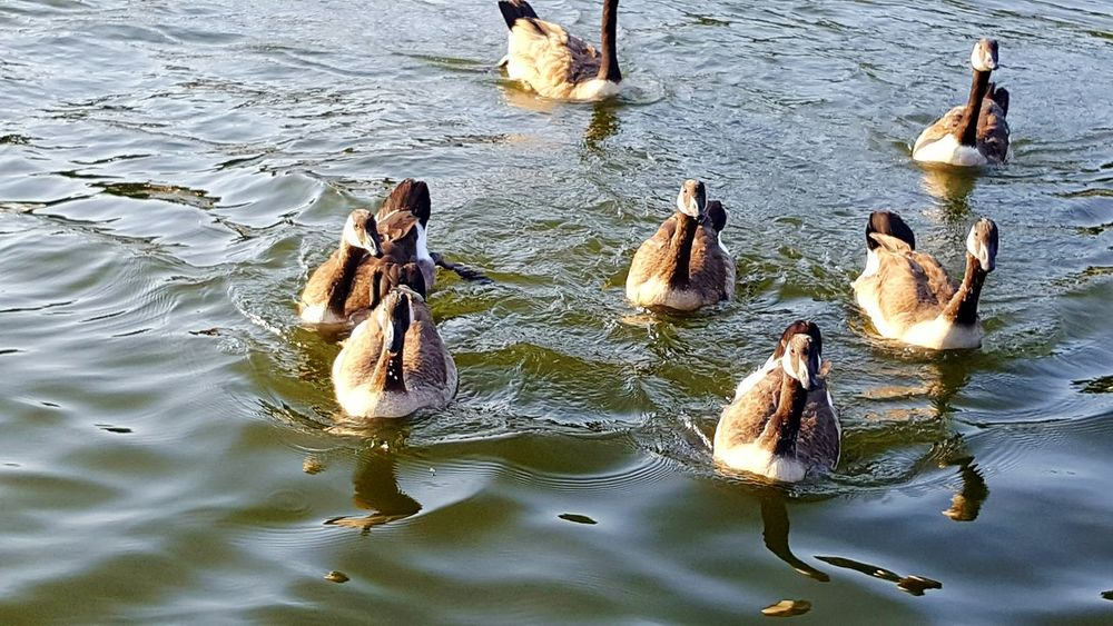 Geese Family Geese Photography Geese At The Lake Geese Gathering Geese In Water Geese In Nature Geese Swimming Birds🐦⛅ Birdwatching Birds Of EyeEm  Animal Themes Wildlife Beauty In Nature Outdoors Birds Bird Bird Photography Birds_collection Bird Watching Animals In The Wild Nature River