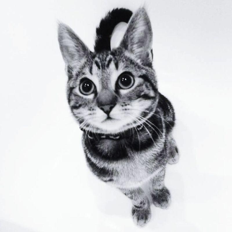 Cat TabbyCat Tabby Pussycat Meow Blackandwhite