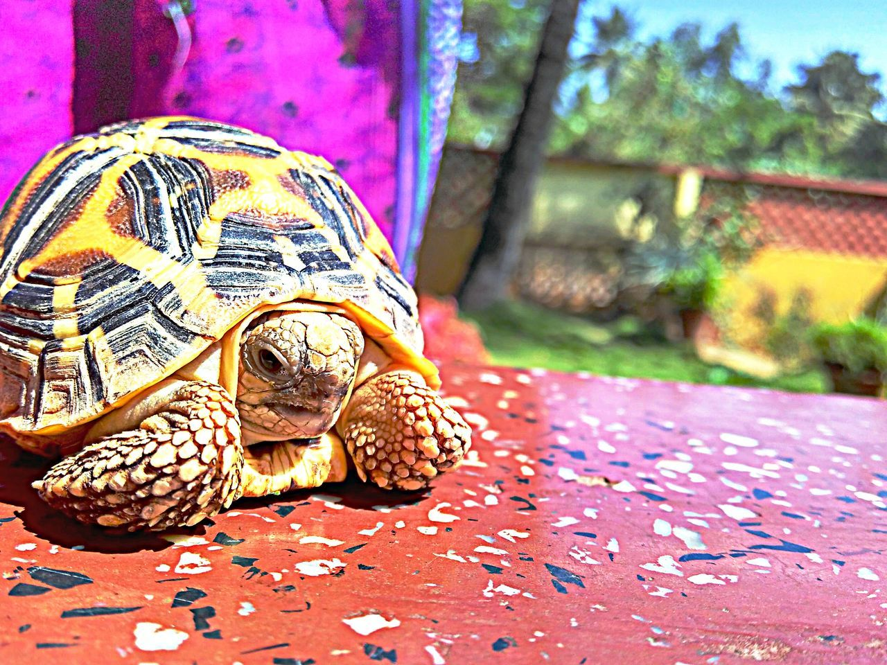 animal shell, one animal, tortoise, animal themes, reptile, animals in the wild, focus on foreground, turtle, close-up, day, tortoise shell, no people, animal wildlife, outdoors, nature