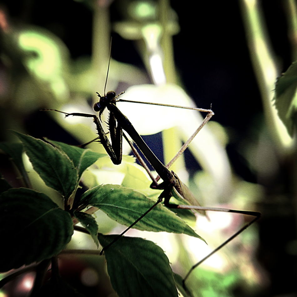 Mantis religiosa waiting for prey Animal Themes Animal Wildlife Animals In The Wild Beauty In Nature Close-up Hunter Insect Insect Photography Mantis Mantis Religiosa Nature No People One Animal Outdoors Plant Wildlife