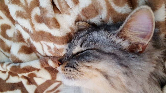 The lovely louise Little Lulu Pretty Kitty Relaxing Cats Maine Coon Cats Of EyeEm Little Lady  Sleeping Cat Whiskers Meow Cat