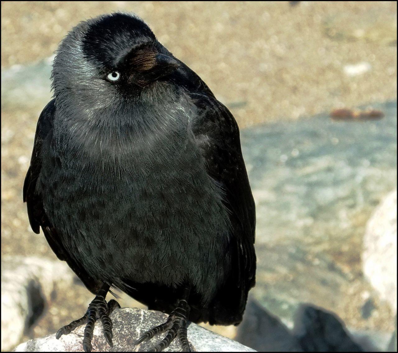 bird, one animal, animal themes, animals in the wild, close-up, animal wildlife, focus on foreground, day, no people, nature, beak, outdoors, raven - bird, perching