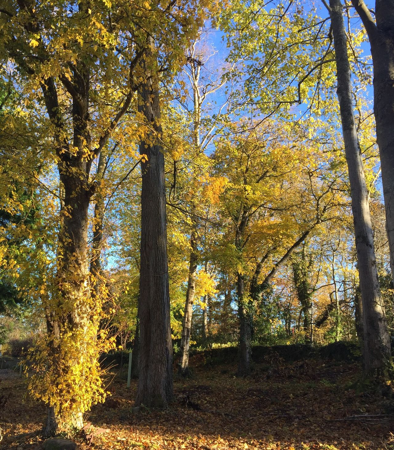 Forrest deciduous wood glorious clolours of autumn Tree Autumn Change Nature Beauty In Nature Growth Scenics Tranquility No People Outdoors Leaf Tranquil Scene Yellow Day Branch (null) Freshness Tranquility Non-urban Scene Beauty In Nature Sunlight Tree Growth Hello World Idyllic
