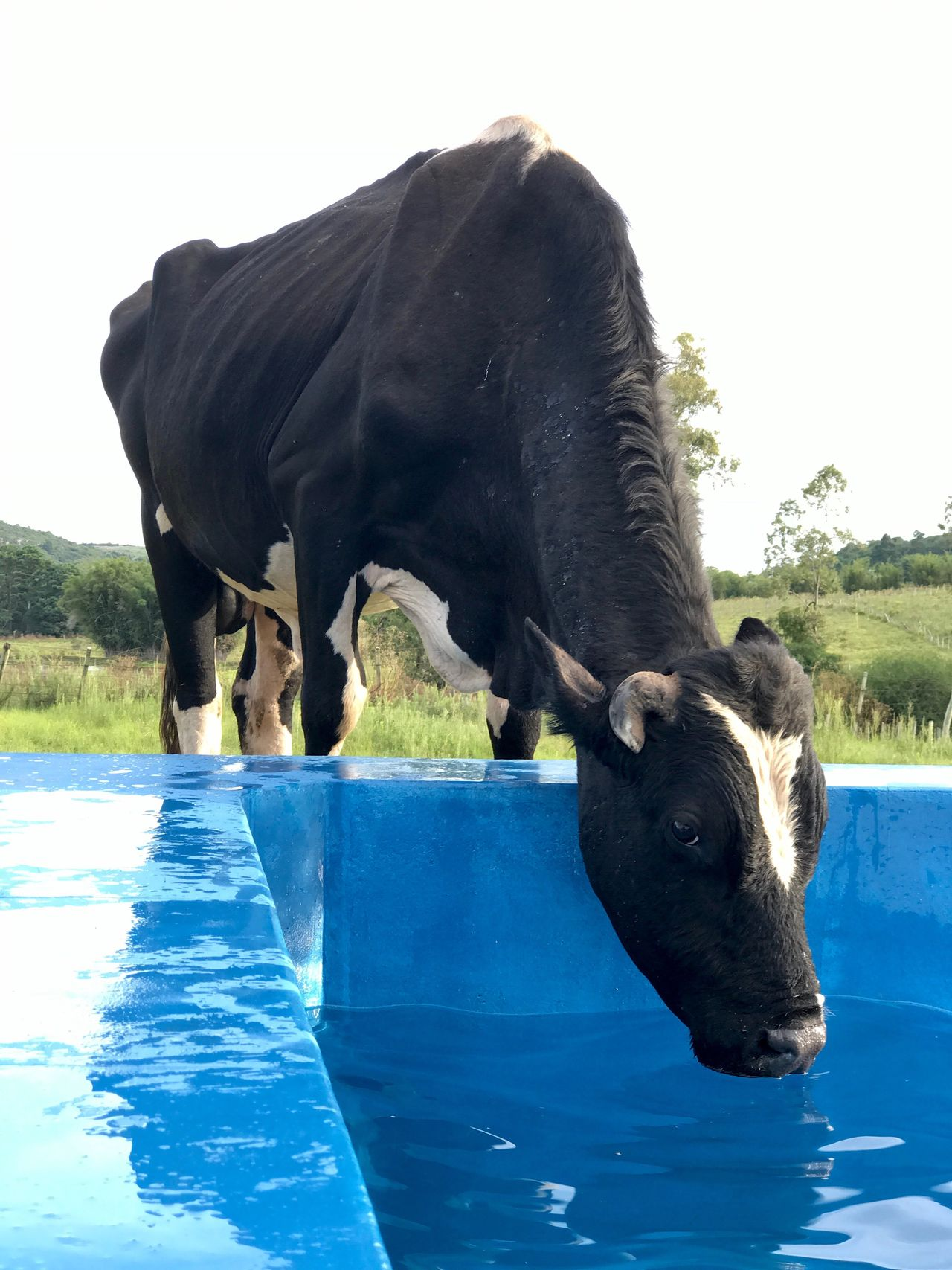 Animal Themes Mammal Domestic Animals Outdoors Day Water Nature No People Sky Drinkiing Cow Rural Scene Animal One Animal