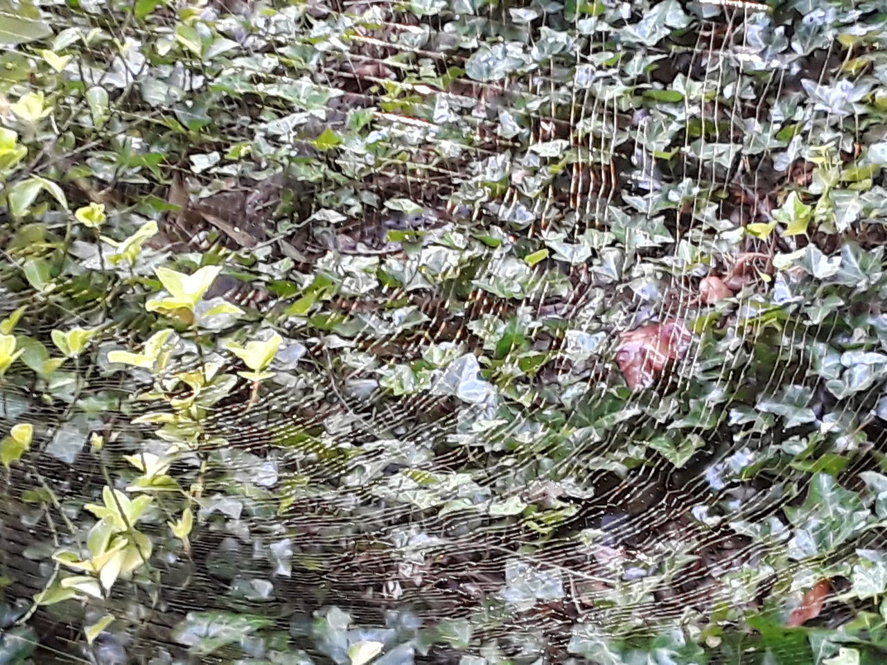 Golden Spiderweb Strings Full Frame Nature No People Backgrounds Plant Leaf Outdoors Growth Beauty In Nature Close-up Spiderwebs Nature Outside Spider Web Fragility Dew On Spider Web ıvy Leaves Ivy