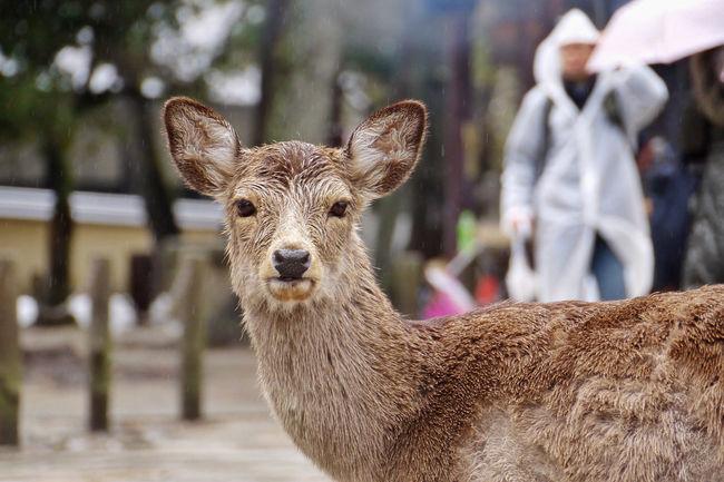 deer at nara park, japan Animals Deer Drizzling Front View Japan Looking At Camera Nara Outdoors Rain Raining Showcase April Travel Ultimate Japan