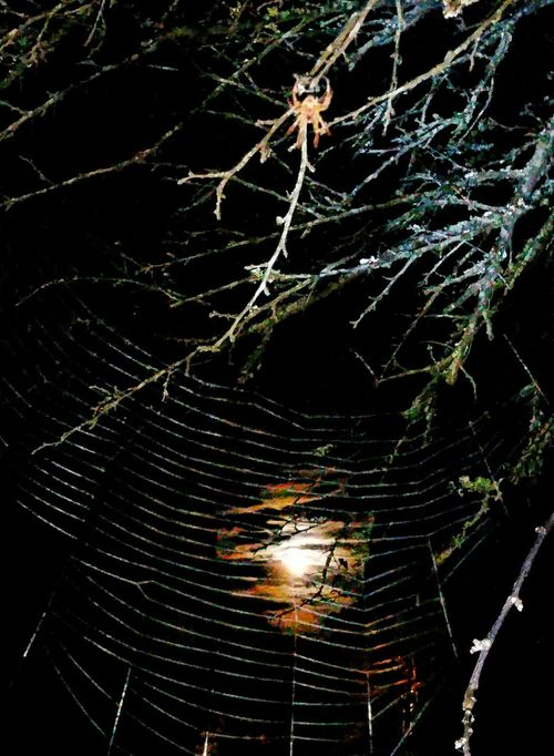 Spider Web Moonlight Moody Sky Mood Reflection Moon Reflection Moon In Background Full Moon Moon Rays Web Spider Spider Collection Spider Hunting Hunting Night Photography Night Life Insects  Insects At Night Night Time Creatures Of The Night Tree Limbs Moon And Clouds Light And Shadow 8 Legs Arachnid