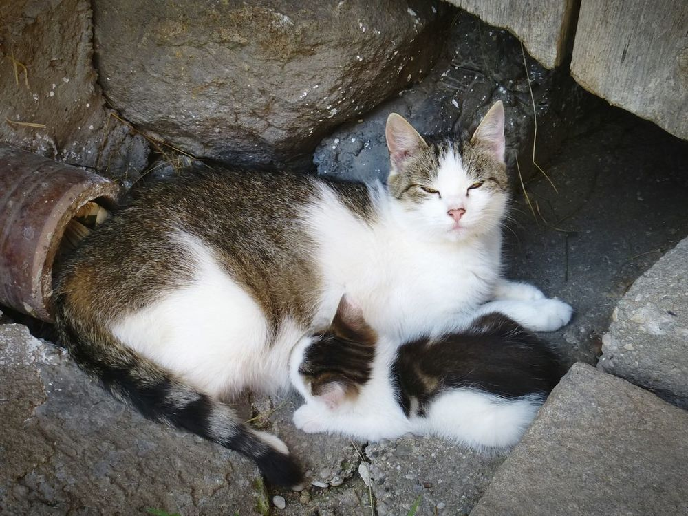 Motherhood 💚 Catoftheday Cats Of EyeEm Cat Lovers Cat Motherhood Kitten Kitty Farm Life Farm Animals Animal Photography Animal Themes Animal_collection Sweet Moments Sweet Love Beauty In Nature Animals Animal Love Catlovers Cats Naturelovers Onthefarm Inthevillage Enjoying Motherhood Showcase: February