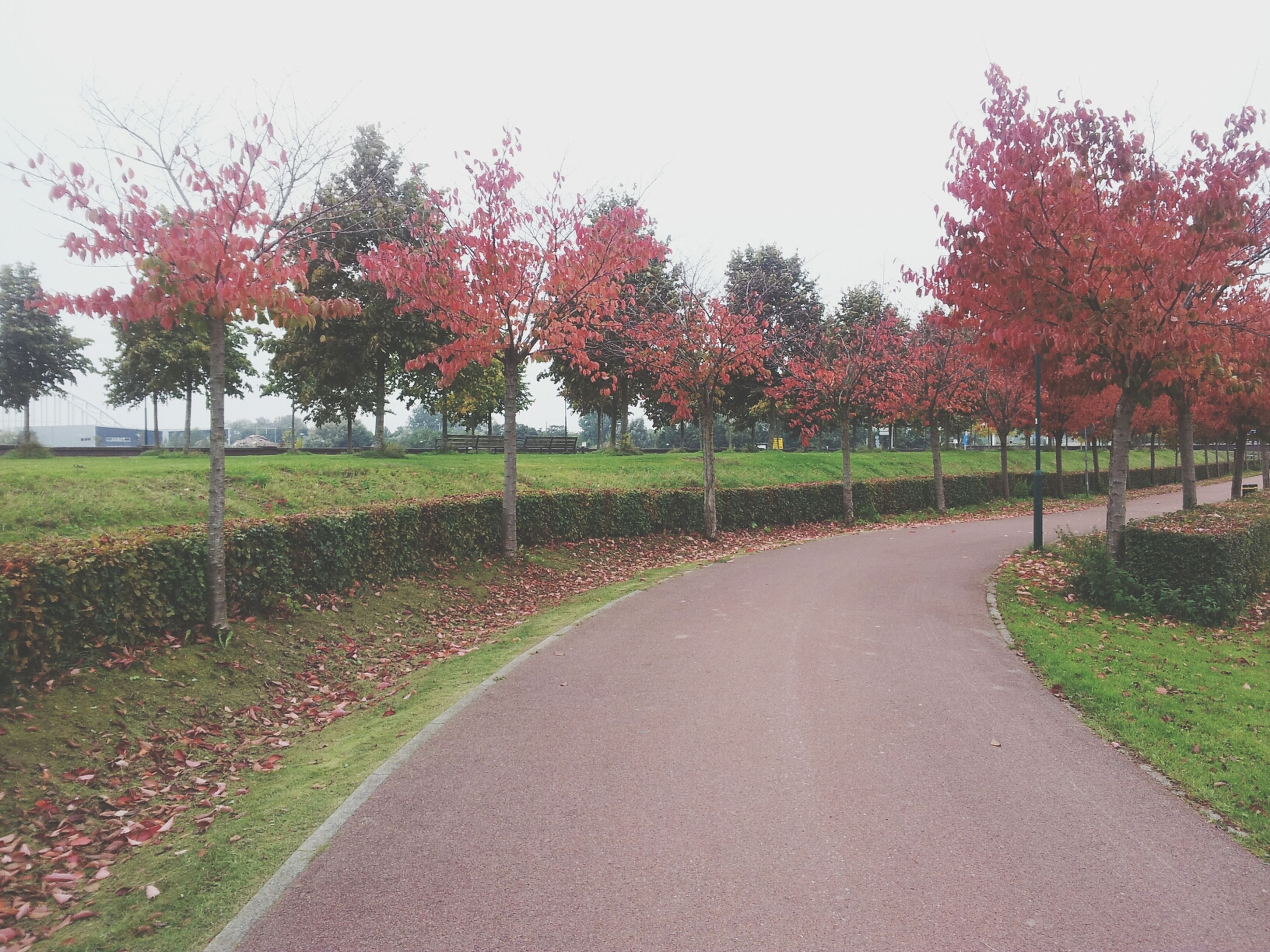 tree, grass, autumn, tranquility, the way forward, tranquil scene, nature, road, change, beauty in nature, growth, clear sky, park - man made space, scenics, green color, season, diminishing perspective, landscape, footpath, field