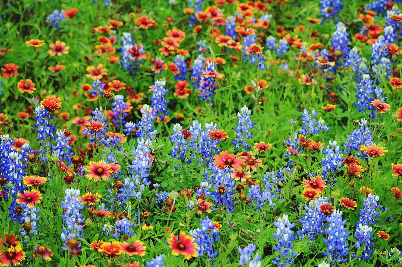 Texas!!!! Bluebonnets Flowers Taking Photos Nature Shot Colour Of Life Colour Palette Pivotal Ideas