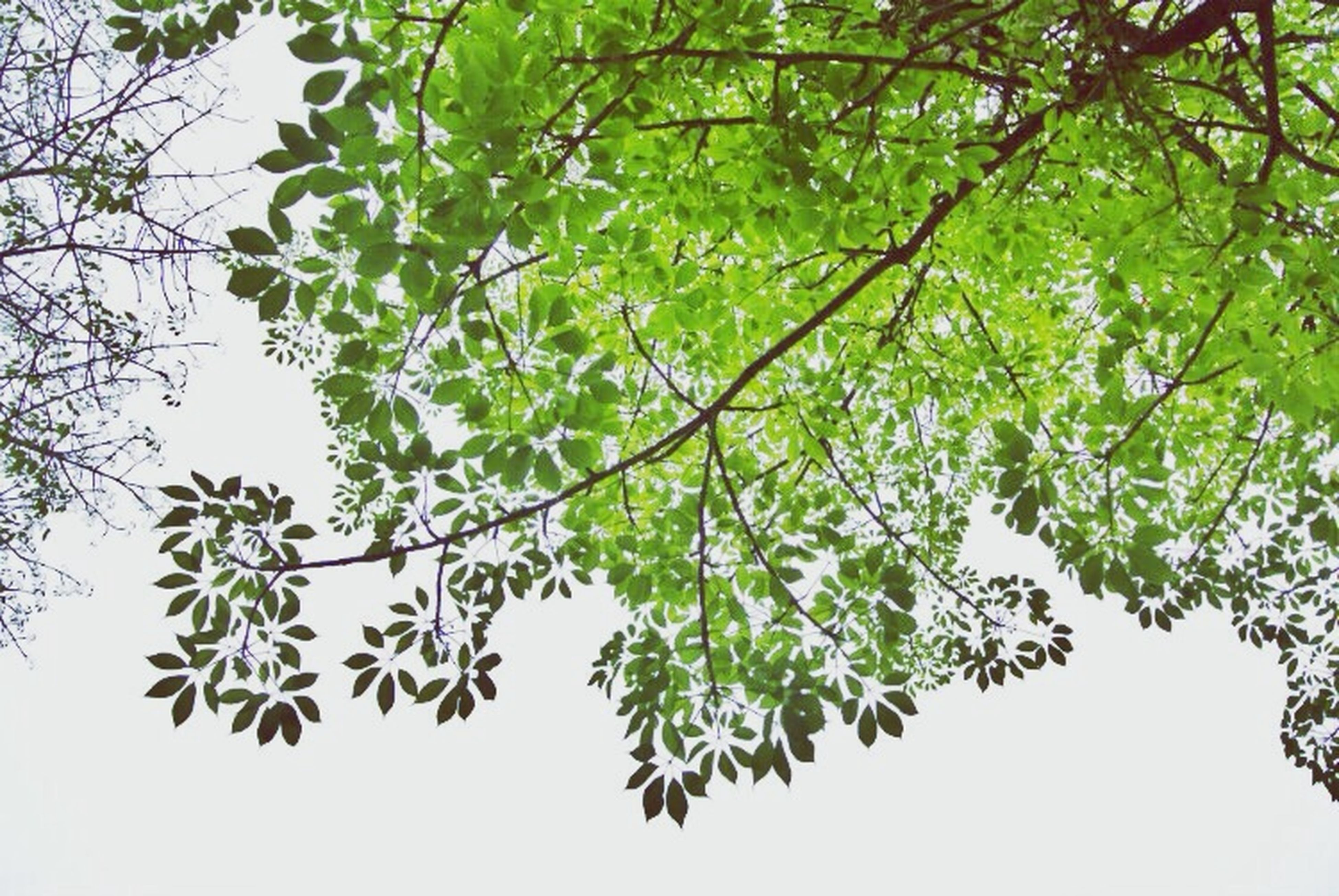 tree, branch, growth, leaf, low angle view, green color, nature, beauty in nature, freshness, tranquility, clear sky, sky, plant, day, outdoors, no people, green, twig, close-up, sunlight