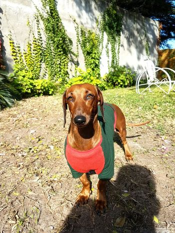 Dog Dachshund Hanging Out Autumn Grass Love4animals Dachshundoftheday Picoftheday Dachshundloversclub Aroundthehouse Cheese!