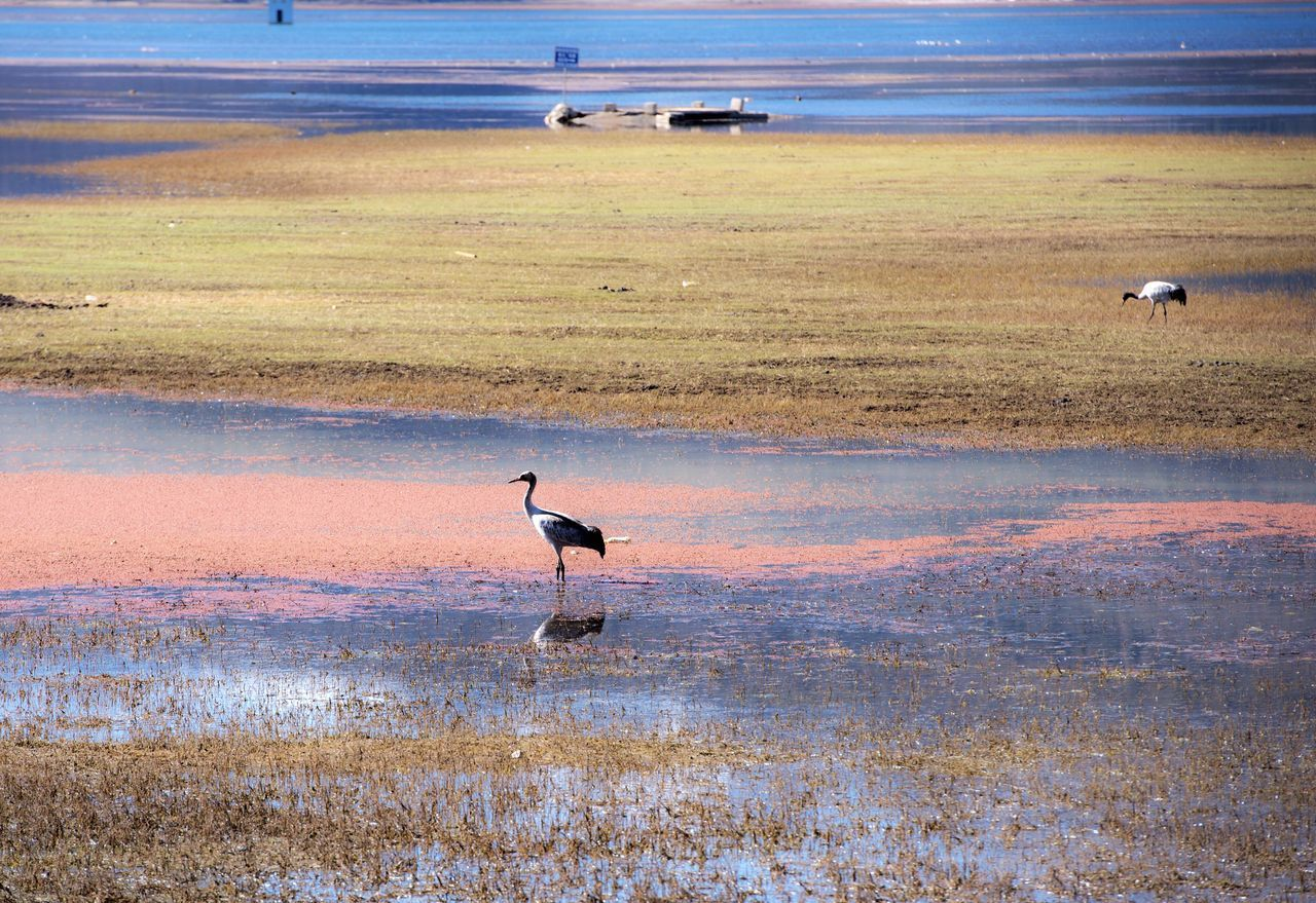 animals in the wild, nature, animal wildlife, bird, beauty in nature, scenics, water, animal themes, one animal, outdoors, grass, lake, day, sunset, no people, flamingo