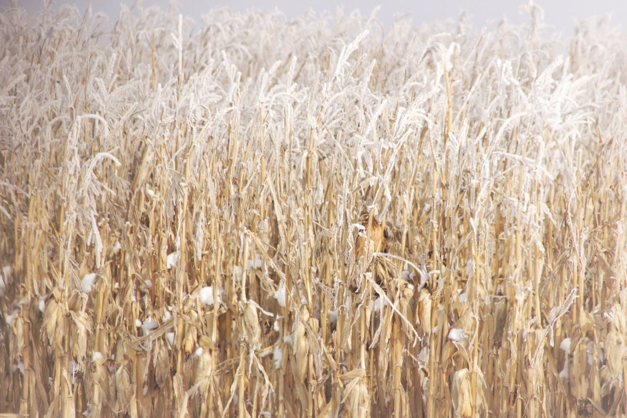 agriculture, cereal plant, crop, farm, growth, field, nature, rural scene, tranquility, wheat, no people, day, plant, beauty in nature, outdoors, ear of wheat, close-up