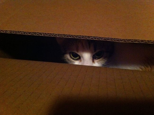 Cat Catinabox Cat In A Box Peeking Eyes Eyes Watching You Lurking Cat Eyes Calico