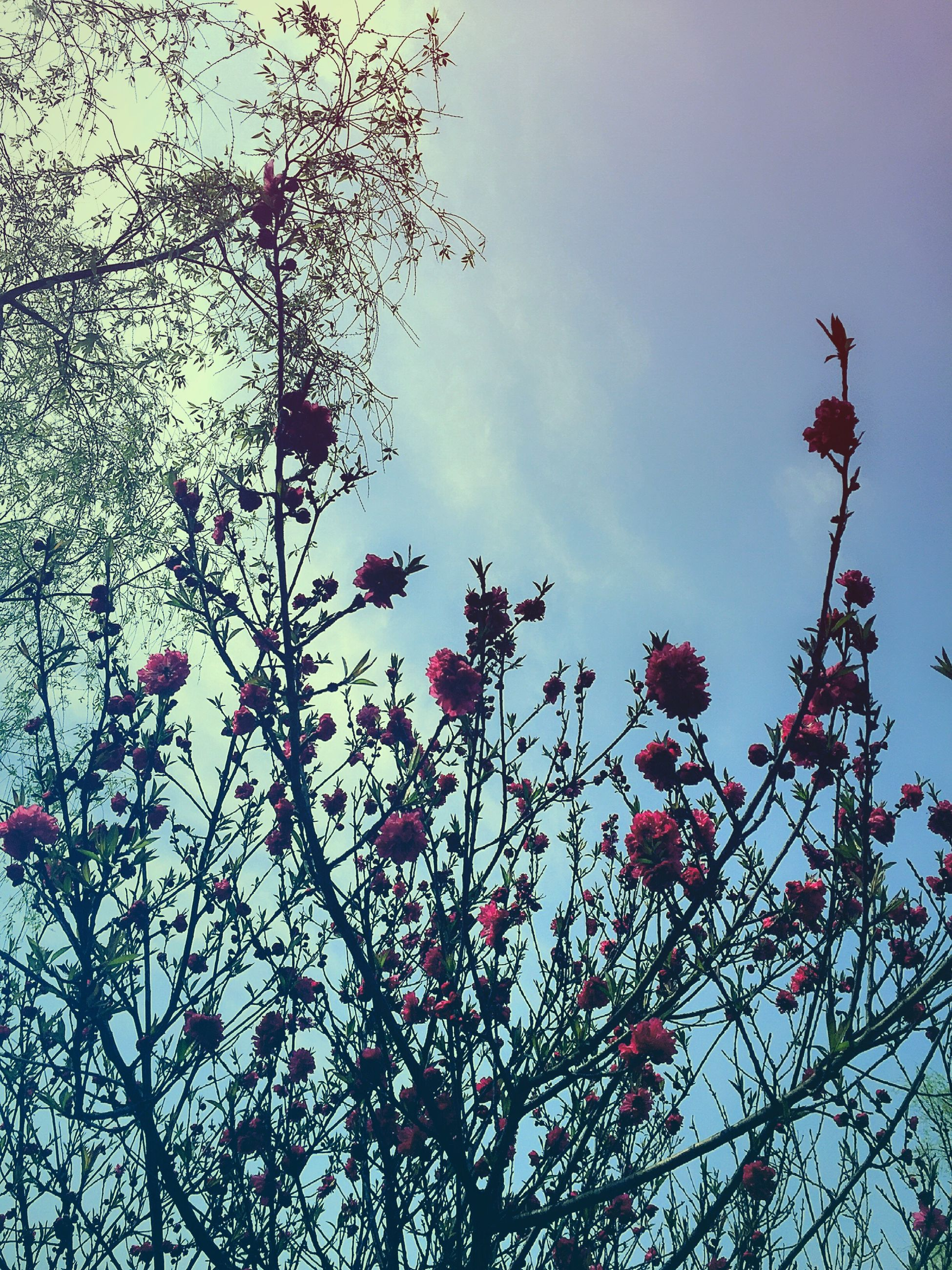 low angle view, branch, tree, sky, growth, beauty in nature, nature, flower, freshness, cloud - sky, pink color, high section, tranquility, outdoors, day, twig, no people, fragility, red, cloud