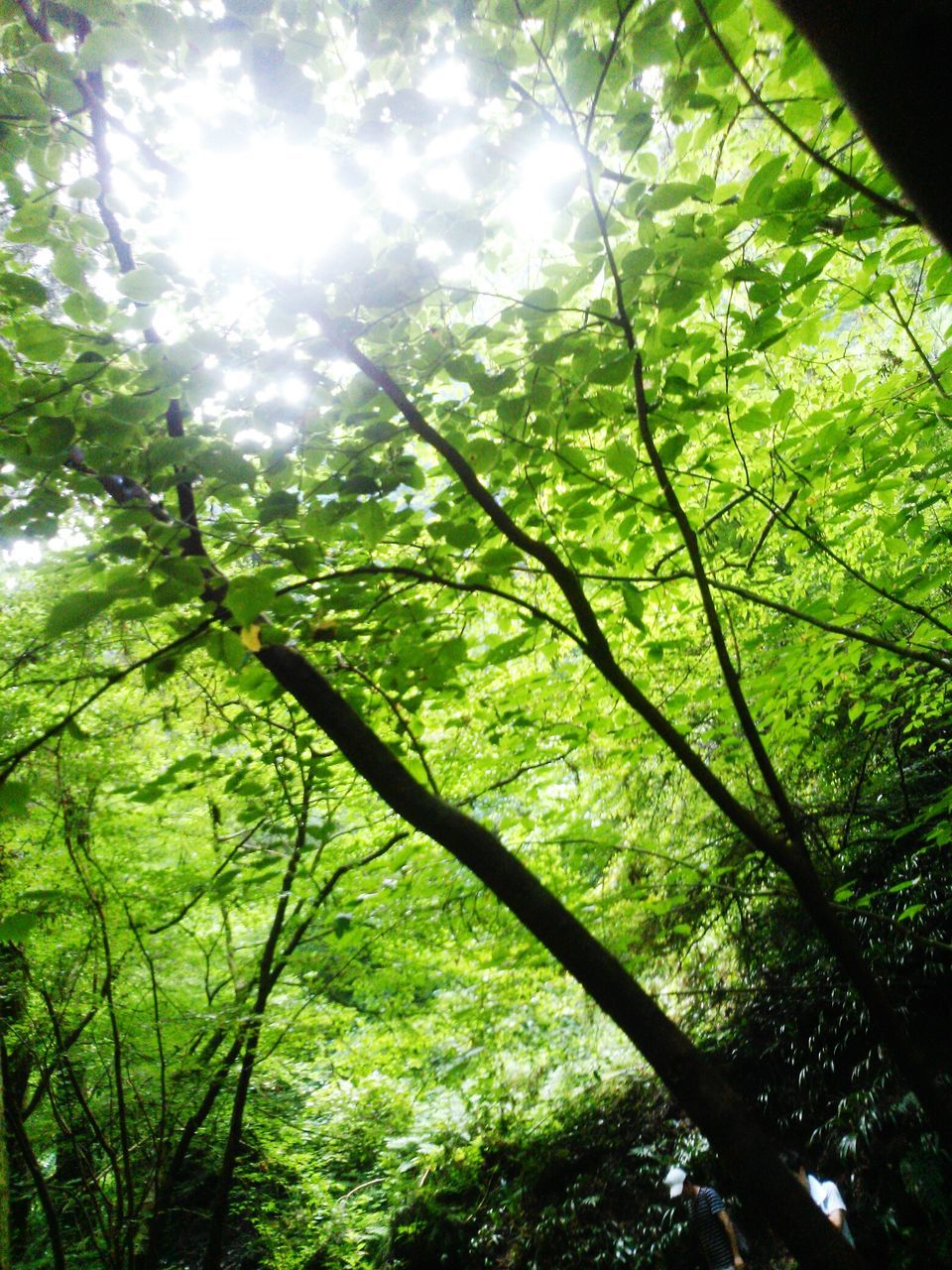 growth, nature, beauty in nature, green color, day, no people, low angle view, outdoors, sunlight, plant, backgrounds, leaf, branch, tree, freshness, close-up