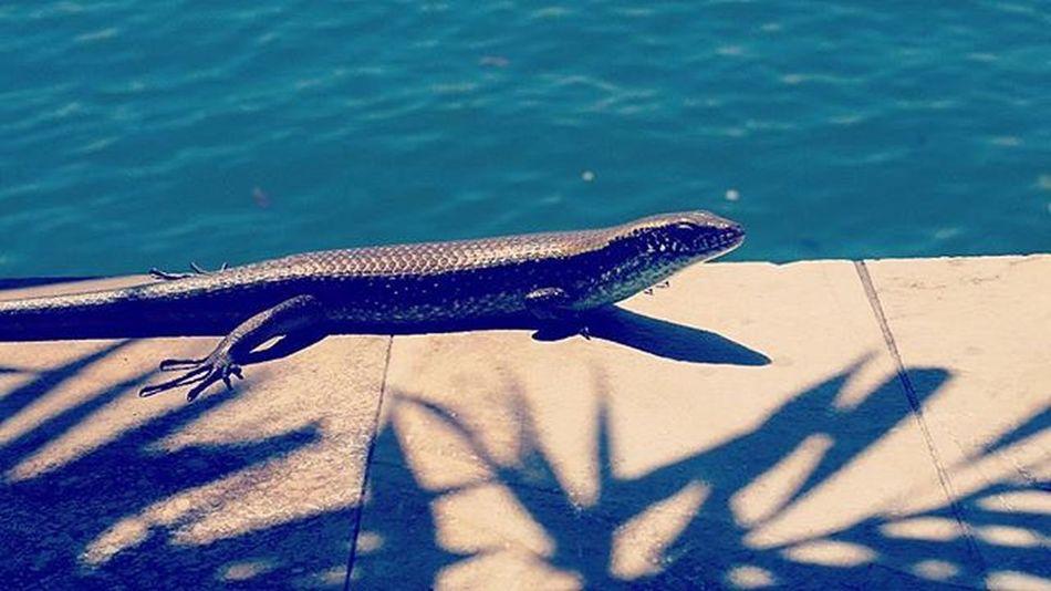 Lizard Ig_lizards Ig_naturelovers Ig_nature Lizardsofinstagram Lizards Ig_animals Animals Animalprint