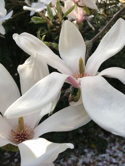 Flower Growth Freshness Petal Nature Beauty In Nature Fragility White Color Flower Head Close-up Plant Blooming Day Outdoors Day Lily Magnolia