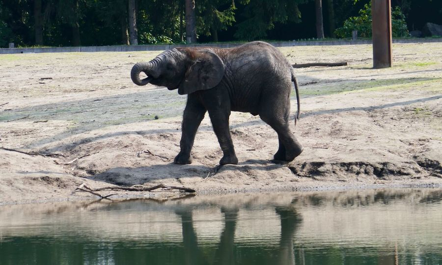 Young Elephant Kalf One Animal Elephant Animals In The Wild Animal Themes Mammal Animal Wildlife Day Outdoors Water Animal Trunk Nature Safari Animals Side View No People Full Length Tree African Elephant Tusk