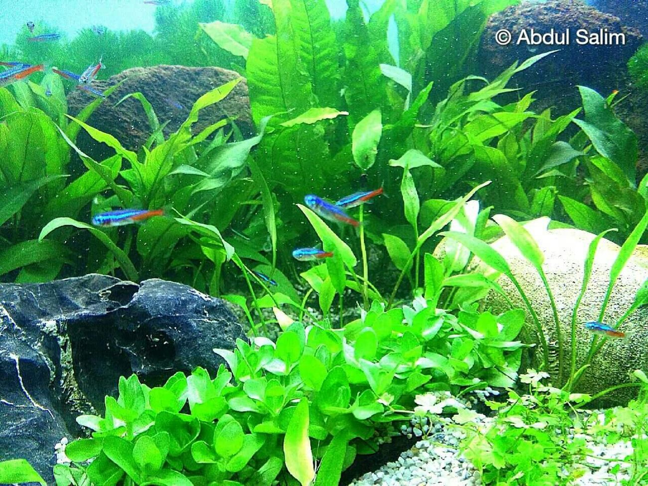 Neontetra Fishes Tropical Fish Aquarium Plantedaquarium Plantedfishtank Little Fishes Little Blue Fishes Swimming