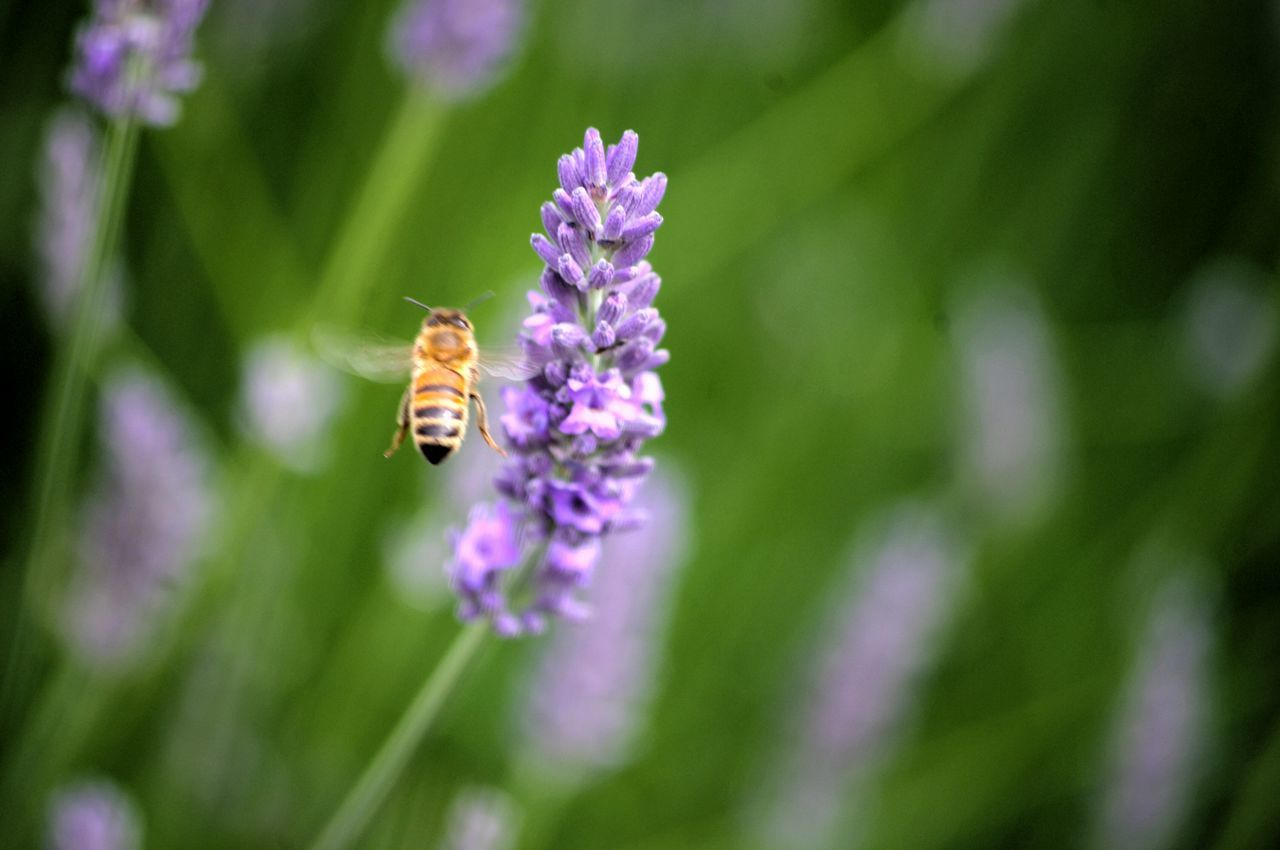 Hony Bee In Flight Collecting Nectar Lavender Flowers Macro Nature Nature On Your Doorstep Nature Summer Memories 🌄 Working In My Garden Freind Of The World Hardworking Bee