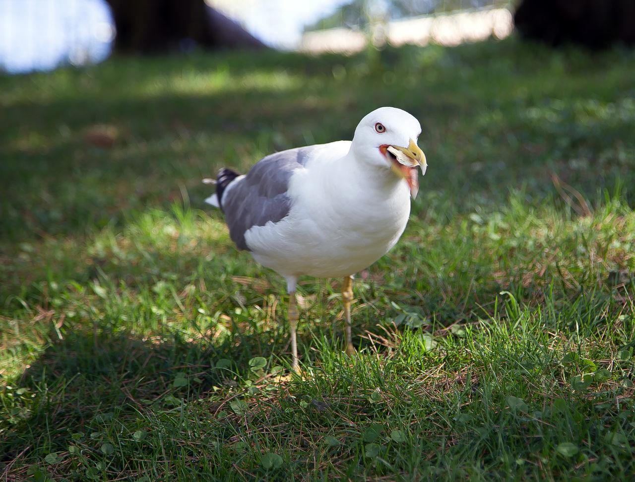 Animal Themes Bird Seabirds Seagull