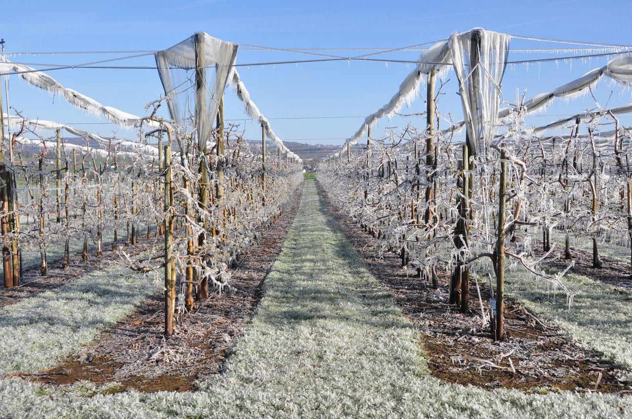 Icy apple tree plantation Agriculture Apple Trees In Winter Frost Protection Frosted Trees Fruit Agriculture Fruit Tree Plantation Ice Ice On Gras Ice Rain Icy Apple Trees Icy Nature Landscape Nature Snow ❄ Sunlight Winter Weather