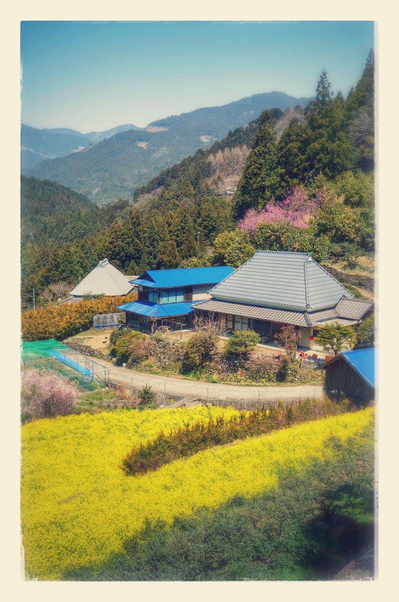徳島県神山町江田地区の菜の花畑