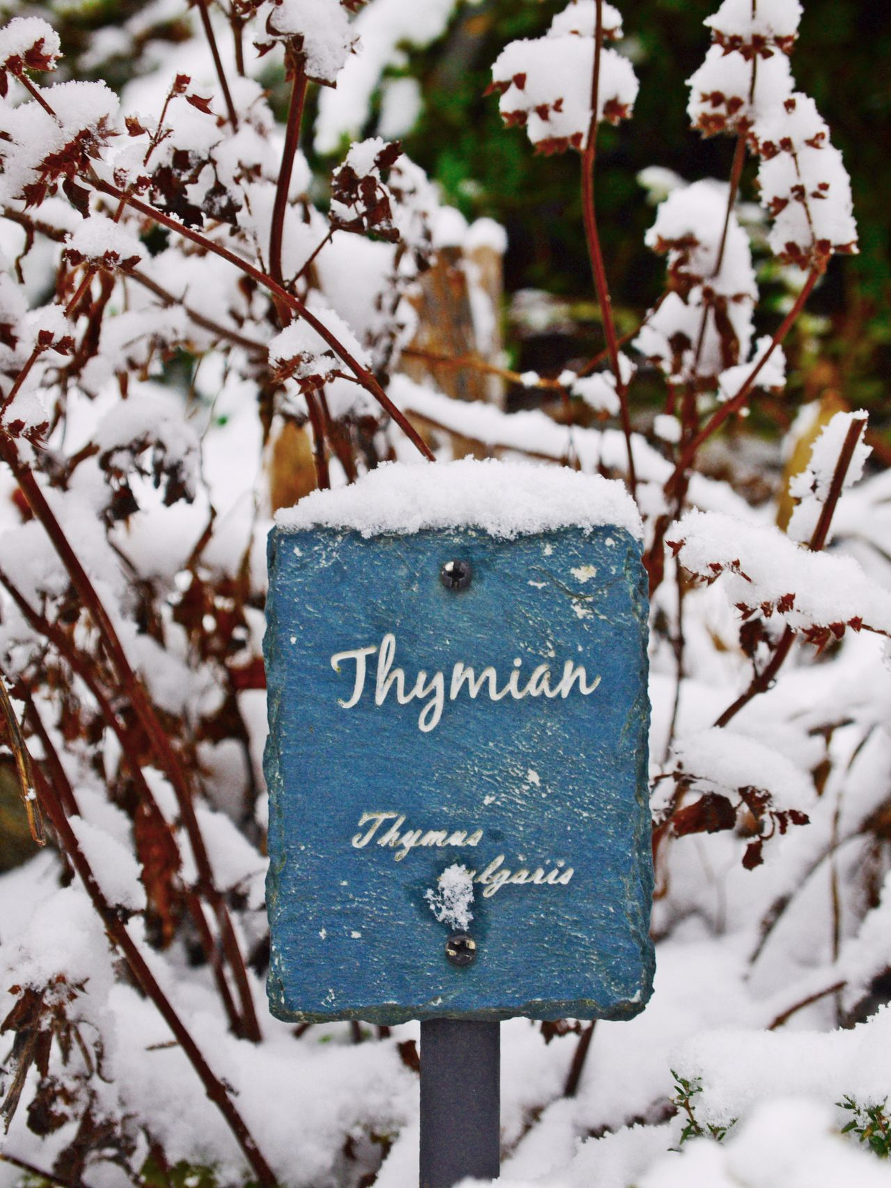 Close-up Cold Temperature Day Focus On Foreground Herbal Bed Nature No People Outdoors Signboard Snow Text Thymian Tree Weather Winter
