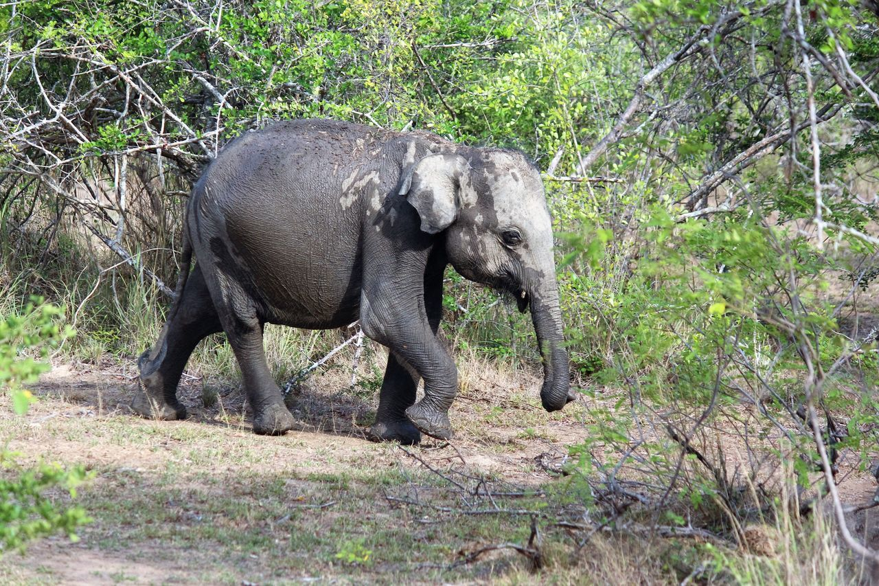 Straight From the waterhole yala national park Elephant Animal One Animal Animal Themes Animal Wildlife Mammal Animals In The Wild No People Nature Outdoors Grass Tusk Tree Day Indian Elephant