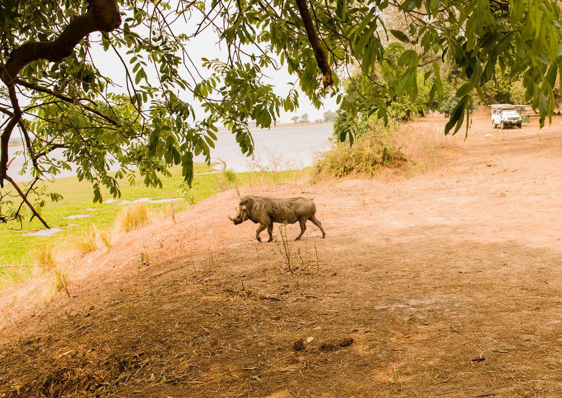 Warthog in Savannah off in Zimbabwe, South Africa Animals In The Wild Common Warthog Desert Warthog Horns Hwange National Park Mammal Species National Park Nature Phacochoerus Africanus Precinct South Africa Zimbabwe Animal Animal Themes Artiodactyls Female Mammal Mating Season Safari Warthog Wildlife