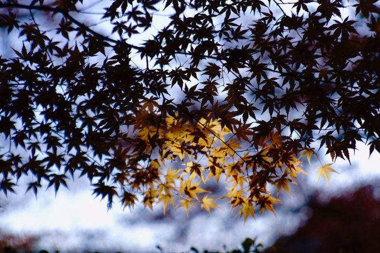 EyeEm Nature Lover EyeEm Best Shots Jupiter9 光明寺 紅葉 Kyoto Japan Autumn Tree Nature Leaf Growth Branch Beauty In Nature Maple Tree Maple Leaf