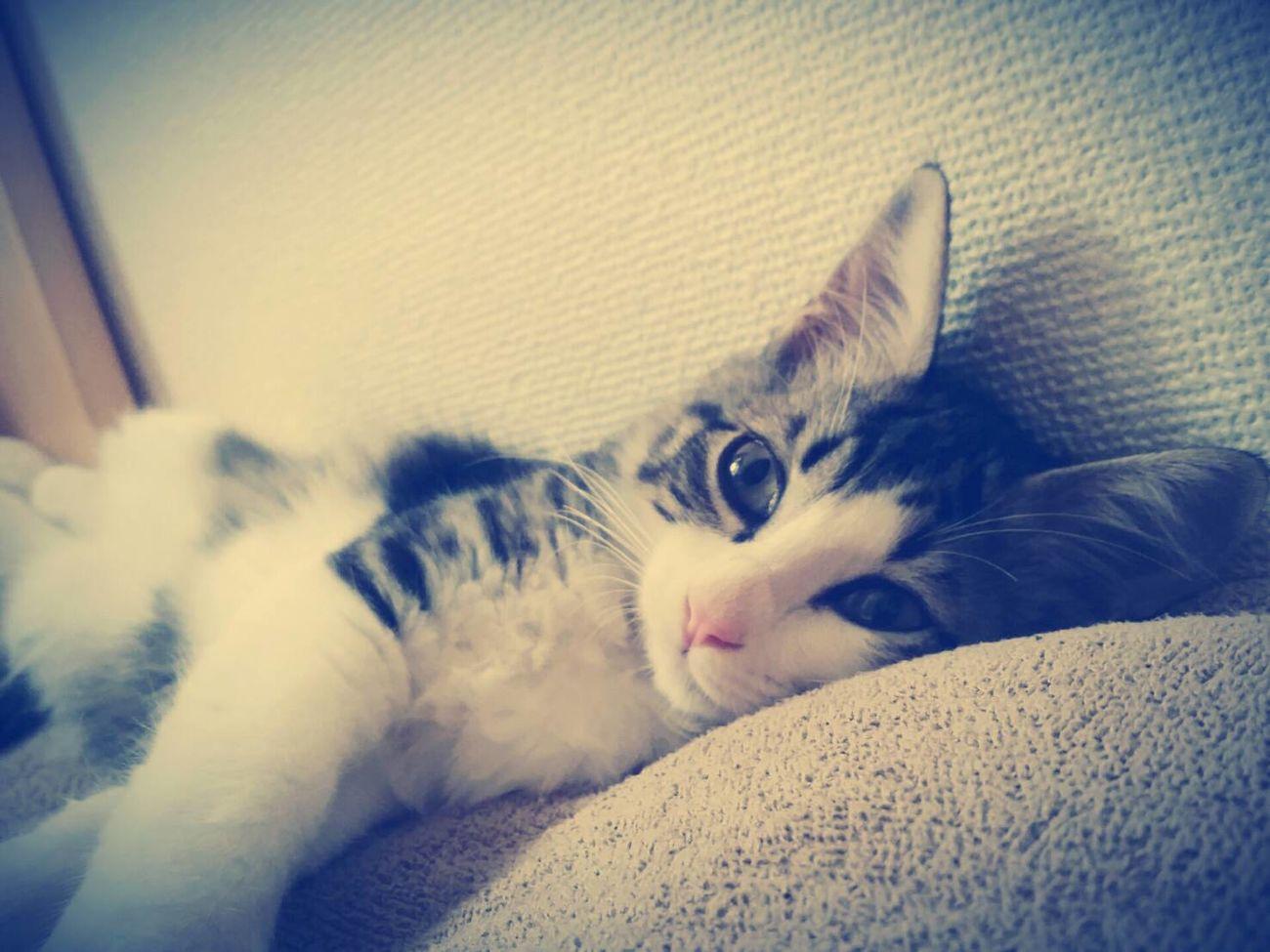 沖縄から引き取った猫ちゃん😆🎵おっとりして、ちょっとどんくさい所がたまらん😍💕ホントは私が飼いたかったけど友達に横取りされた😤 Cat 猫 Cat Lovers Cute Pets Eyeemcat EyeEmCatlovers Cat♡ Cats Of EyeEm Catlover