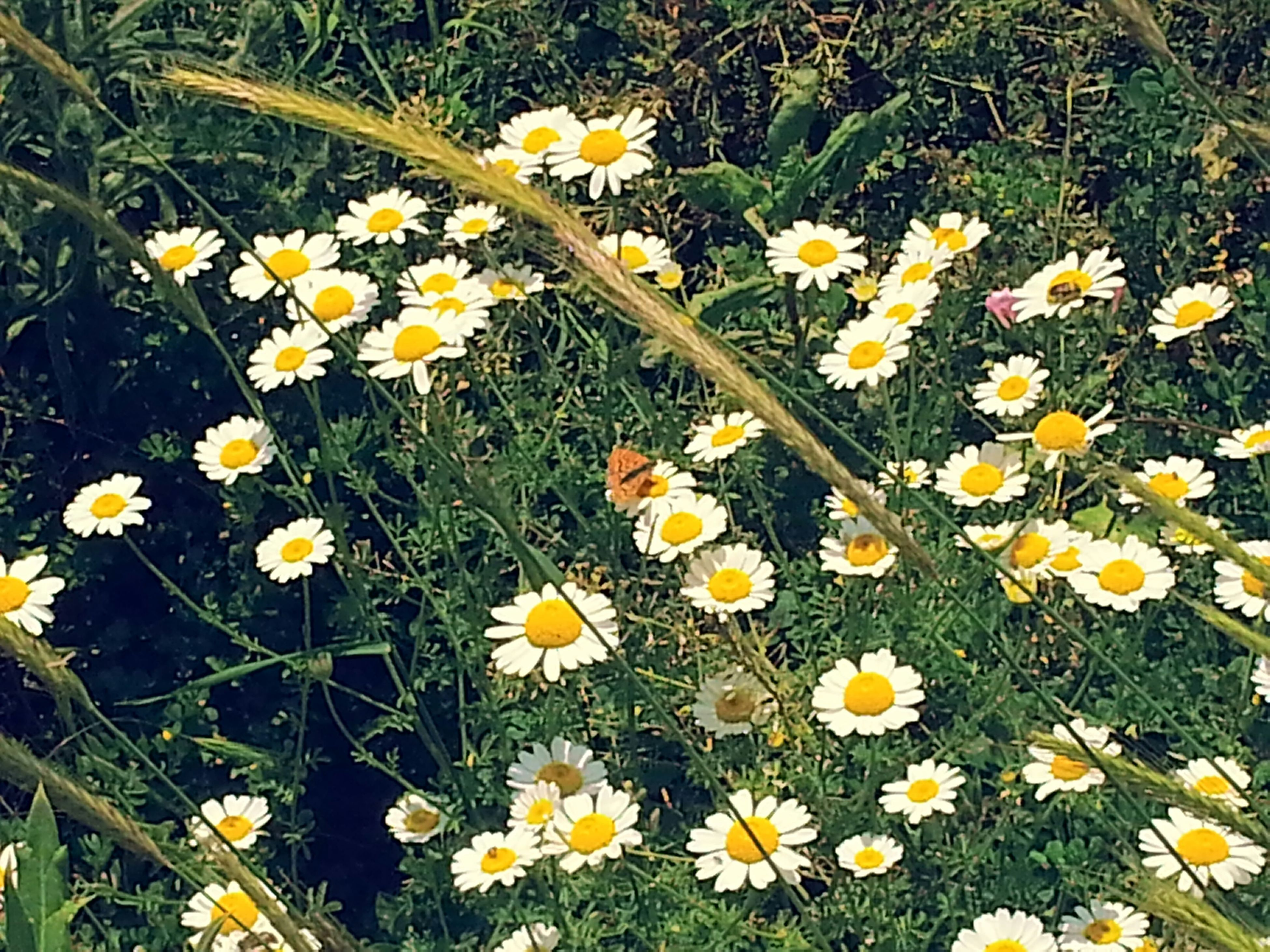 flower, freshness, growth, fragility, petal, yellow, daisy, beauty in nature, high angle view, plant, field, nature, blooming, flower head, grass, white color, in bloom, wildflower, blossom, stem