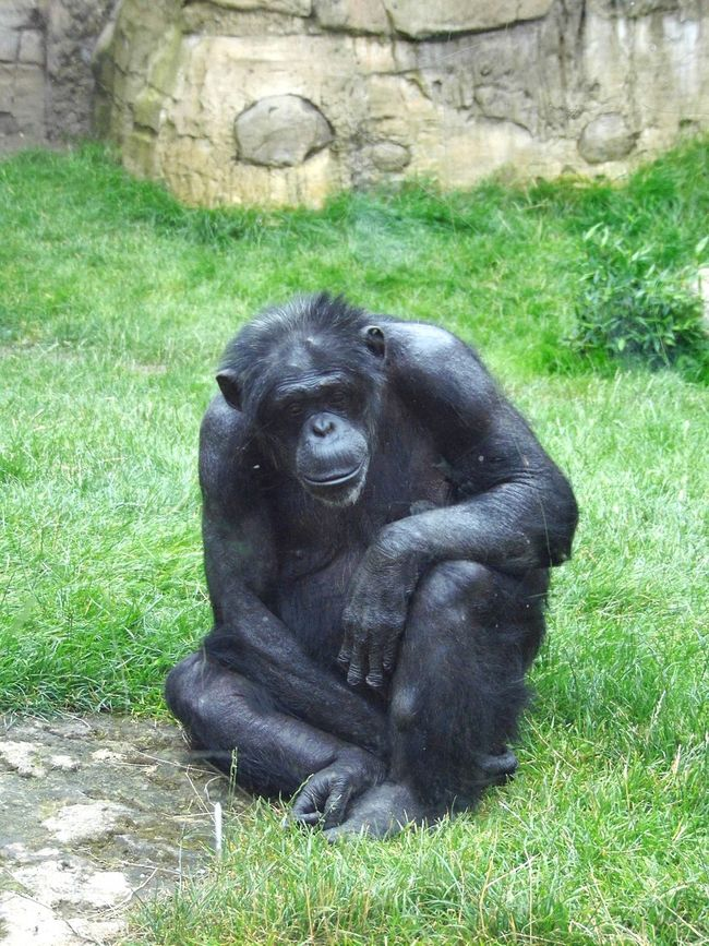 Sad Sadness Sad & Lonely Sad Face Traurig Affe Schimpanse Affen Schimpans Hannover Tiere Tier Zoo Zoo Animals  ZOO-PHOTO Zoophotography
