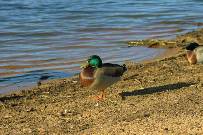Animal Themes Day Duck Lakeshore Nature One Animal Outdoors Shore Side View Sunlight Water Wildlife