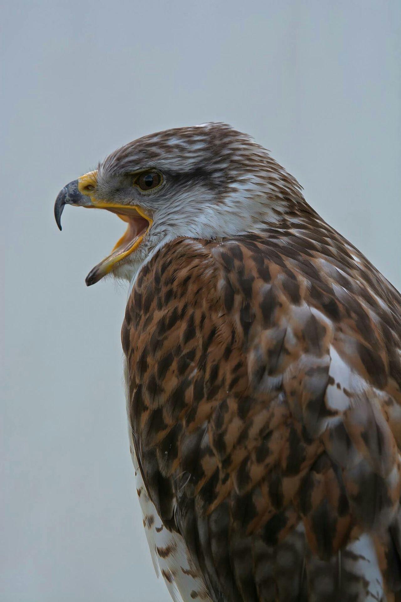 Bird Of Prey Wildlife & Nature Animaux Oiseaux Predatory Predator Rapace  France Gironde