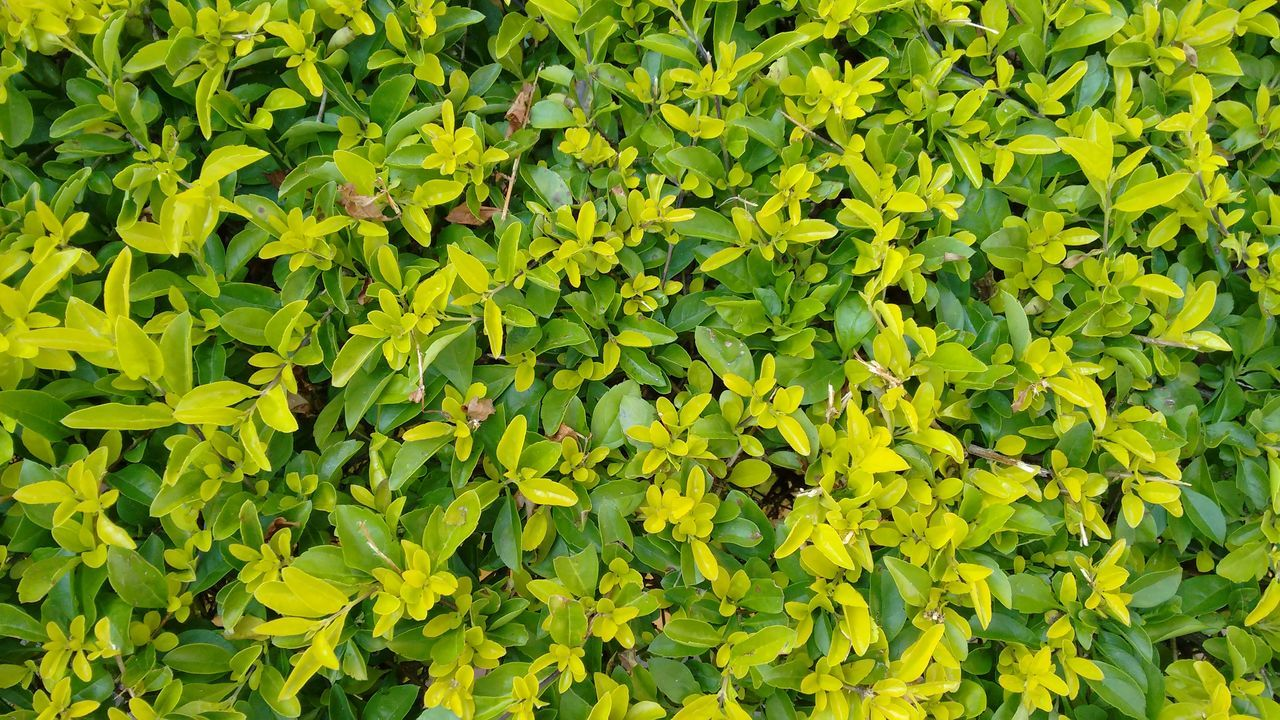 Green wall Green Color Nature Backgrounds Growth Full Frame No People Lush Foliage Plant Beauty In Nature Leaf Yellow Outdoors Day Photosynthesis Freshness No Filter, No Edit, Just Photography Flowers,Plants & Garden Live Wall Green Wall