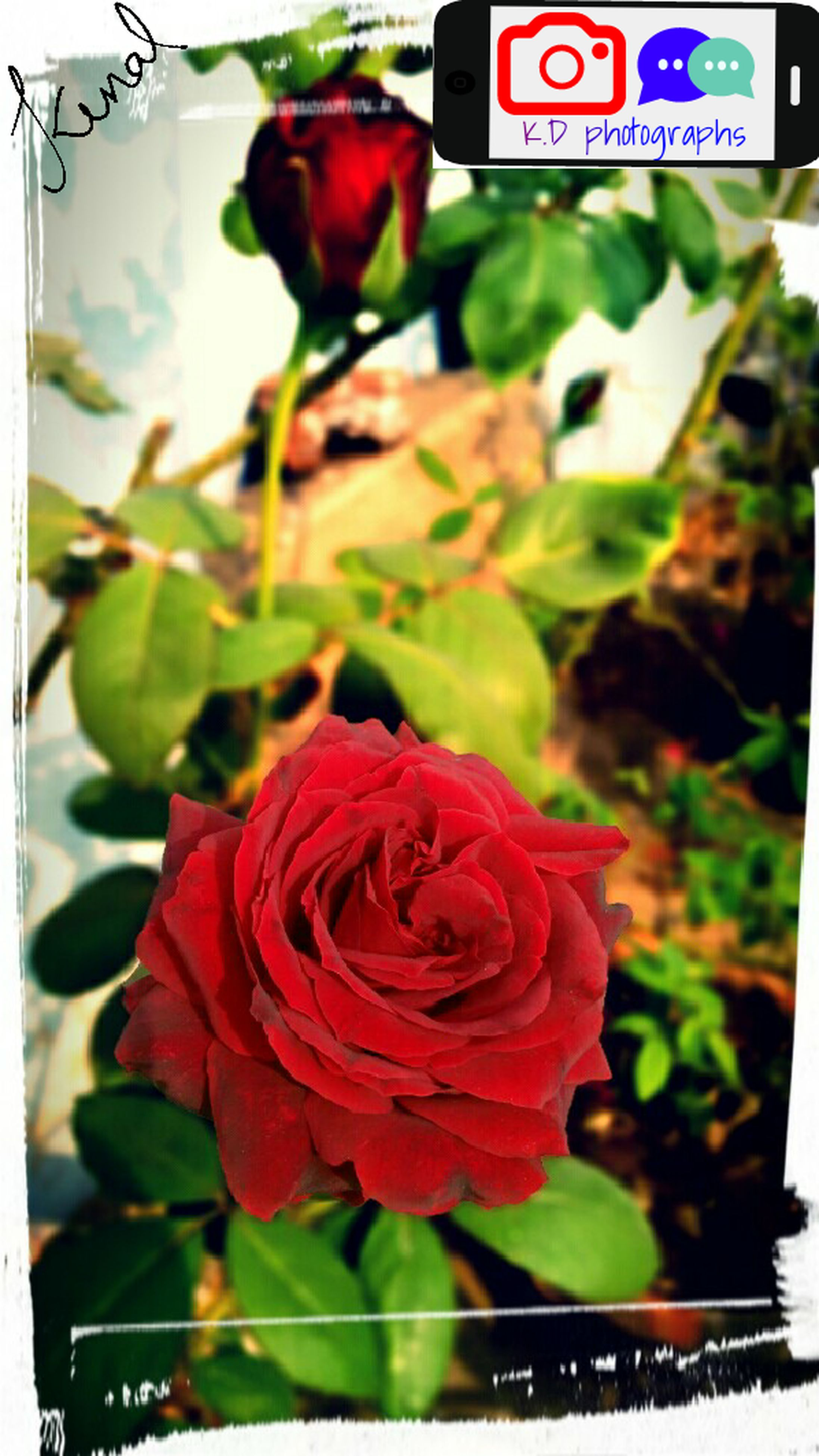 freshness, flower, transfer print, red, close-up, auto post production filter, focus on foreground, petal, indoors, rose - flower, growth, fragility, flower head, leaf, nature, beauty in nature, no people, plant, bouquet, day