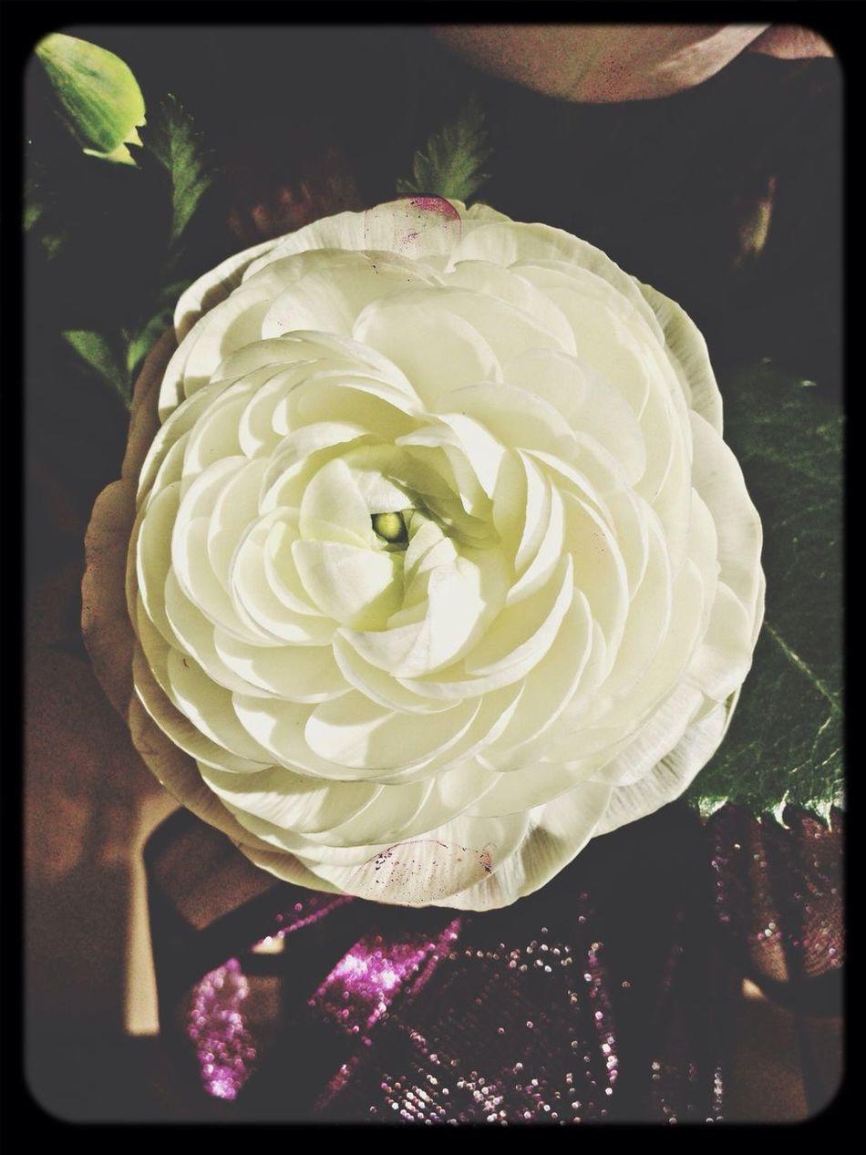Renunculous Flowerporn White Flowers Renunculous Secret Garden