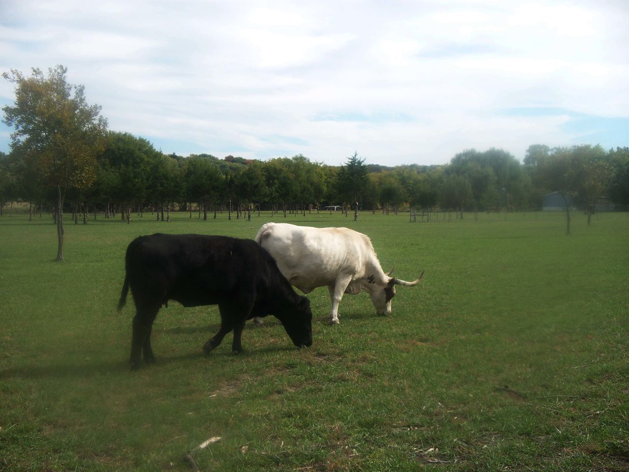 grass, field, nature, cow, livestock, grazing, domestic animals, animal themes, tree, cattle, landscape, mammal, pasture, sky, no people, outdoors, day, beauty in nature
