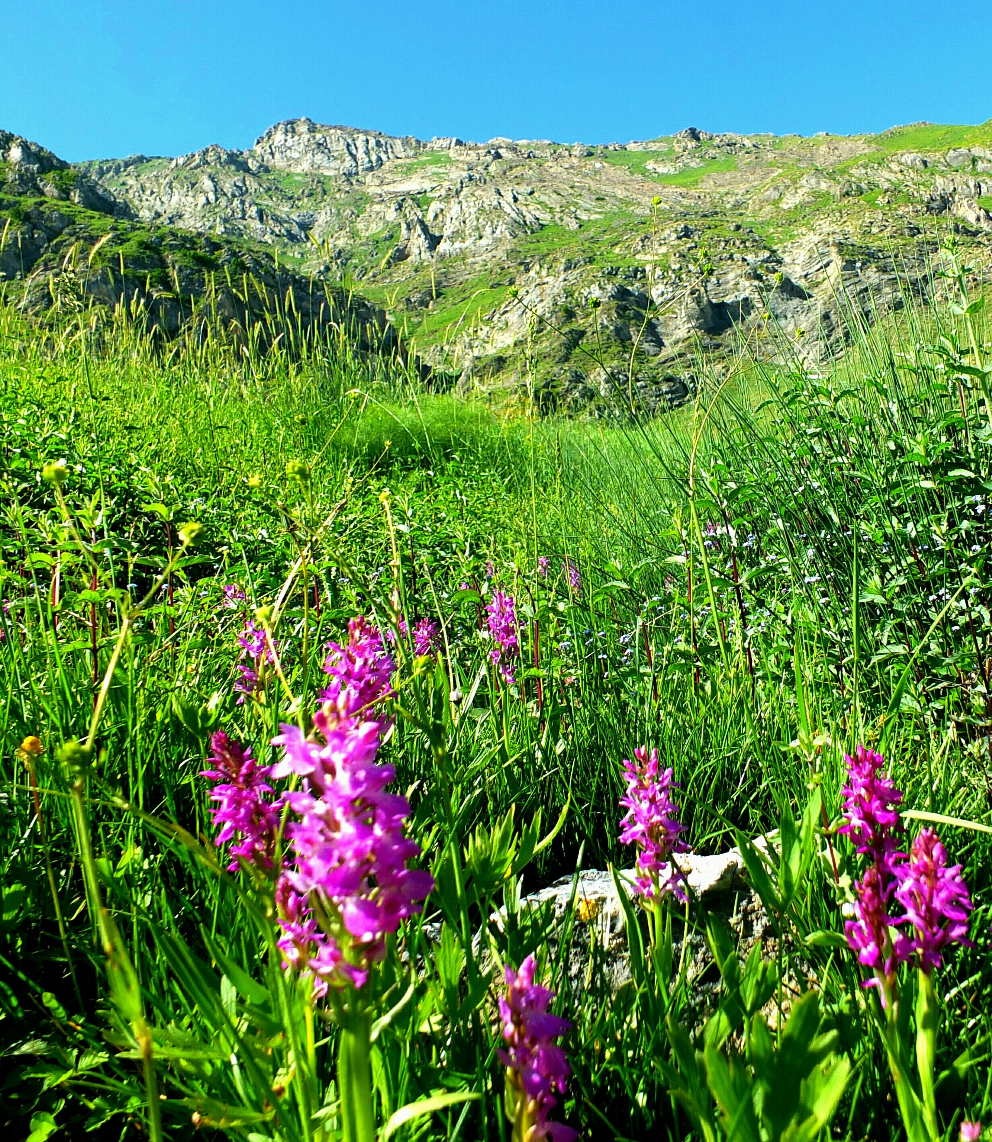 flower, freshness, growth, beauty in nature, plant, fragility, blooming, field, nature, petal, grass, landscape, clear sky, wildflower, tranquil scene, purple, flower head, in bloom, tranquility, green color