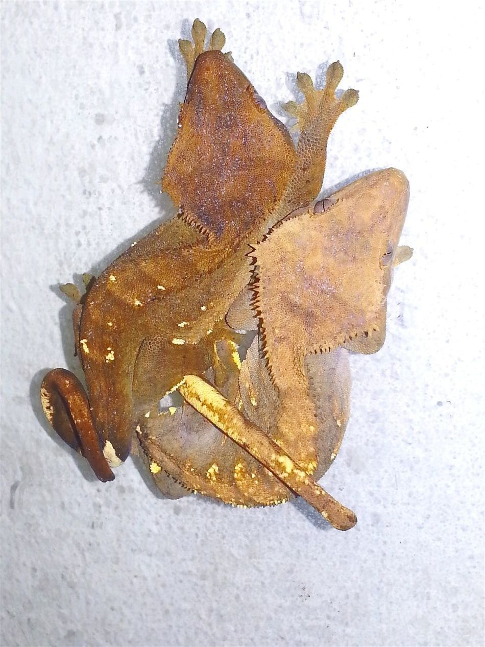 Two crested gecko girls sleep (2017.04.13). 2 Girls Two Animals Two Girls Sleeping Girls Dreaming Close-up Dino's Photography Hello World Lifestyles Real Life Jurassic World Of Dino's Check This Out Special_shots Crestedgeckos God's Beauty Nature Jurassicworld Wonderful Nature Fantastic Animal Themes Reptile Exotic Animals Exotic Creatures Animal Photography Jurassic World